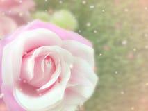 开花桃红色玫瑰 免版税库存照片