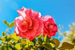 开花桃红色的玫瑰在阳光下 免版税库存图片