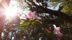 开花桃红色的花在阳光下 库存图片