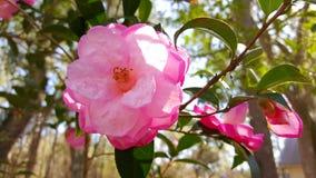 开花桃红色的花在阳光下 库存照片