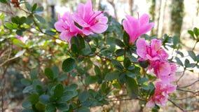 开花桃红色的花在阳光下 免版税库存图片