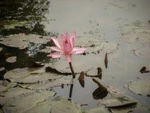 开花桃红色的荷花他筑成池塘 库存图片