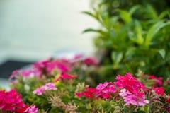 开花桃红色紫色洋红色野花美丽的树荫在被弄脏的绿色的离开庭院和天空背景,选择聚焦 库存图片