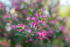 开花桃红色结构树 库存照片