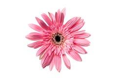 开花桃红色颜色被隔绝的大丁草或雏菊,裁减路线 库存图片