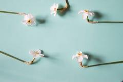 开花框架由水仙做成在中立绿色背景  库存照片