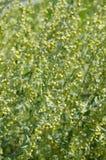 开花植物柠檬蒿木,背景 免版税库存照片