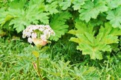 开花植物欧洲畜牧草,一含毒植物Heracleum 图库摄影