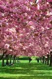 开花植物的樱桃庭院纽约 库存照片