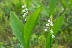 开花植物铃兰在春天森林里 库存图片