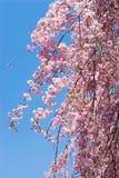 开花樱桃下垂的粉红色 免版税图库摄影