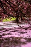 开花樱桃充分的庭院爱 免版税库存照片