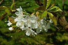 开花樱桃免费在庭院里 免版税库存照片