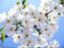 开花樱桃分支,美好的春天为背景开花 库存图片