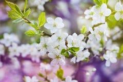 开花樱桃分支,美好的春天为葡萄酒背景开花 库存照片