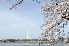 开花樱桃华盛顿 库存照片