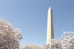 开花樱桃华盛顿 免版税图库摄影