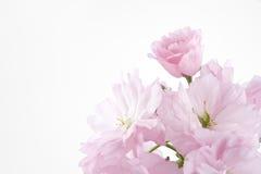 开花樱桃双开花了 免版税库存照片