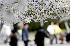 开花樱桃季节 库存图片