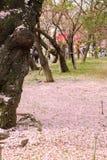 开花樱桃差别开花重点轻宏观自然 库存照片