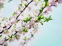开花樱桃或苹果分支反对蓝天 库存图片