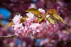 开花樱桃日本人结构树 库存照片