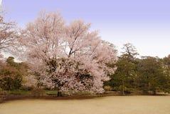 开花樱桃日本结构树 图库摄影