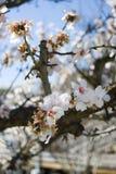 开花樱桃日本 免版税图库摄影