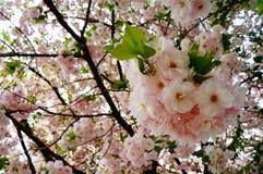 开花樱桃日本 图库摄影