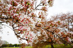 开花樱桃日本 免版税库存图片