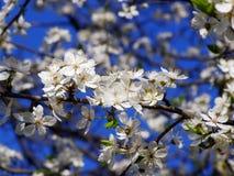 开花樱桃春天结构树 免版税库存照片