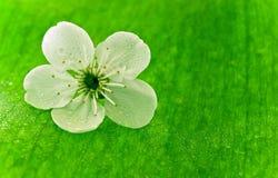 开花樱桃春天结构树 库存图片