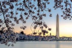 开花樱桃构成的纪念碑华盛顿 库存图片