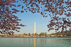 开花樱桃构成的纪念碑华盛顿 免版税库存照片