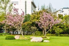 开花樱桃树古城公园上海瓷 库存图片