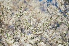 开花樱桃树在阳光下 图库摄影