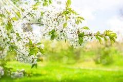 开花樱桃树 与太阳光芒的春天花 免版税图库摄影
