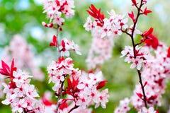 开花樱桃树 免版税库存照片