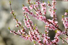 开花樱桃树 图库摄影