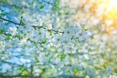 开花樱桃树instagram窗框 免版税库存照片
