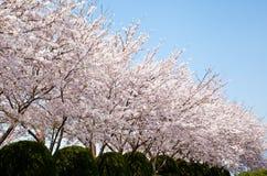 开花樱桃森林 库存图片