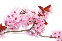 开花樱桃特写镜头 库存照片