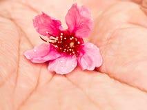 开花樱桃现有量粉红色 图库摄影