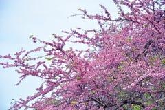 开花樱桃粉红色结构树 库存图片