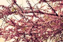 开花樱桃粉红色结构树 库存照片