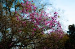 开花樱桃粉红色结构树 免版税库存照片