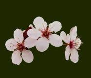 开花樱桃粉红色 免版税库存照片