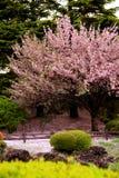 开花樱桃结算极大的结构树 免版税库存图片