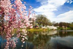 开花樱桃节日新的泽西 库存照片