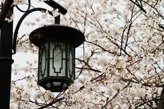 开花樱桃街灯 免版税图库摄影